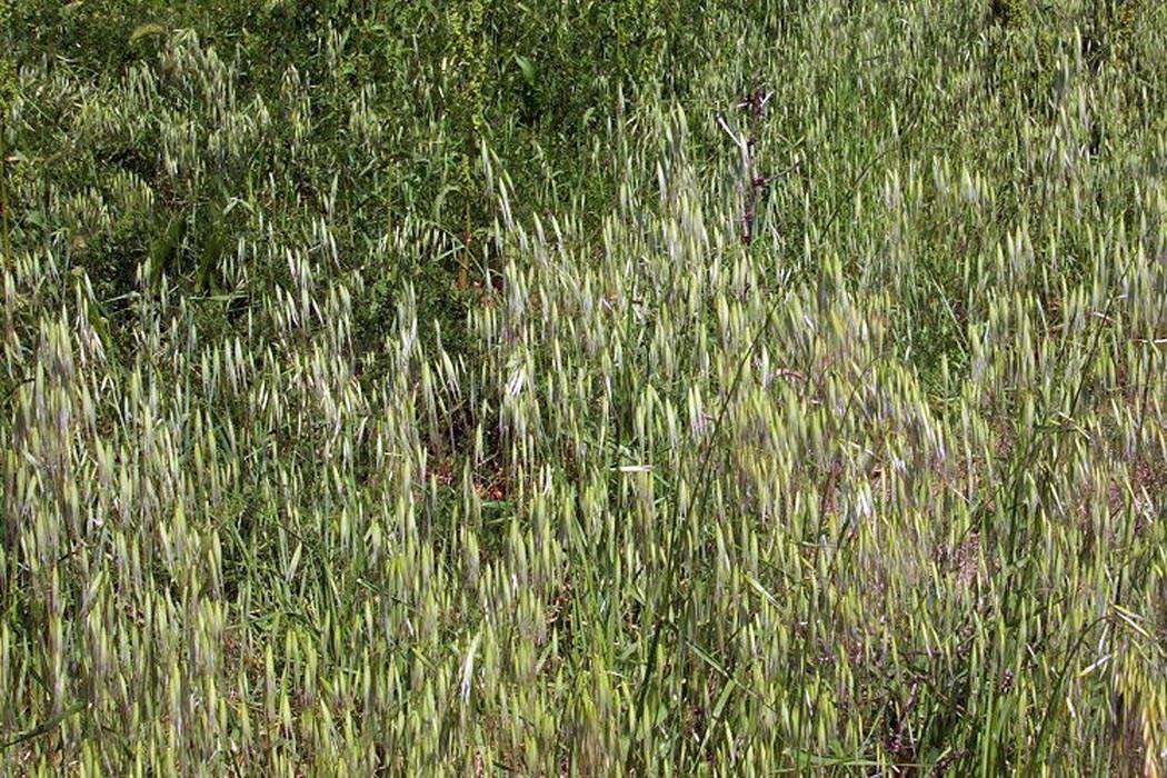 Avena barbata (slender wild oat); habit. Manfredonia, Puglia, Italy, May 2005.