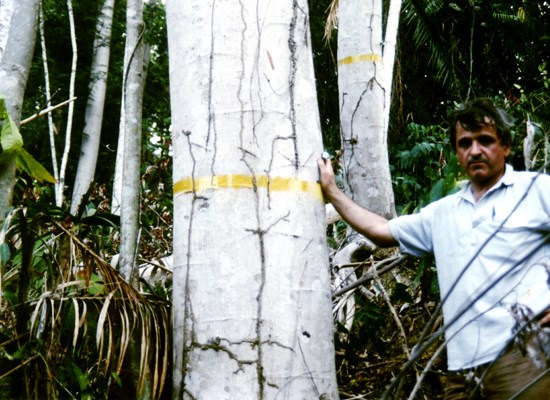 Lower trunk and bark of naturally regenerated, 10-year-old Falcataria moluccana.  Moluccas Islands, 1996.