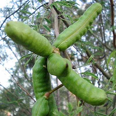 Immature fruits of A. farnesiana.