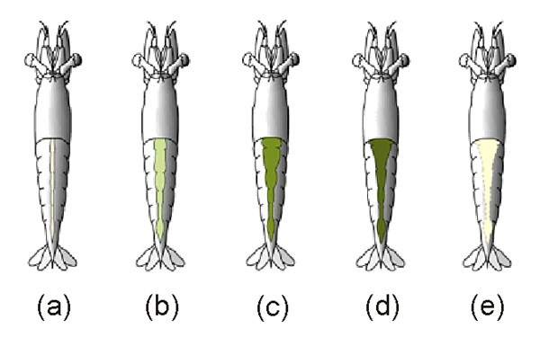 Penaeus monodon (giant tiger prawn); stages in Ovarian Development of P. monodon; (a) Underdevelpoed or spent stage: (b) Developing stage: (c) Nearly ripe stage: (d) Ripe stage: (e) Post-spawn.