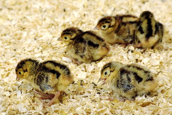 Phasianus colchicus (common pheasant); day-old chicks.