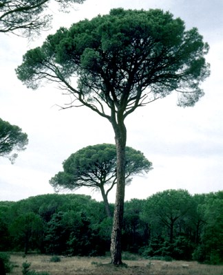 Adult stone pine typically exhibits this crown shape. Tree aged 100 years; 20 m high. Location: Tuscany, central Italy.