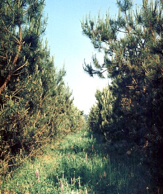 16-year-old clonal seed orchard, Stari-Petriviski Forest Research Station, Kyiv region, Ukraine.