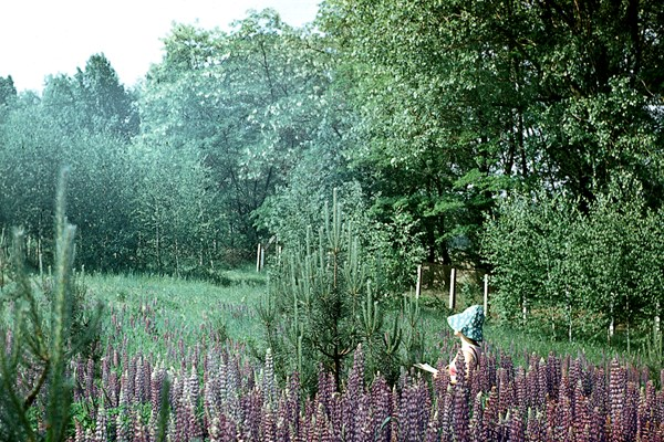 Clonal seed orchard with perennial lupin (Lupinus sp.). Stari-Petriviski Forest Research Station, Kyiv Region, Ukraine.
