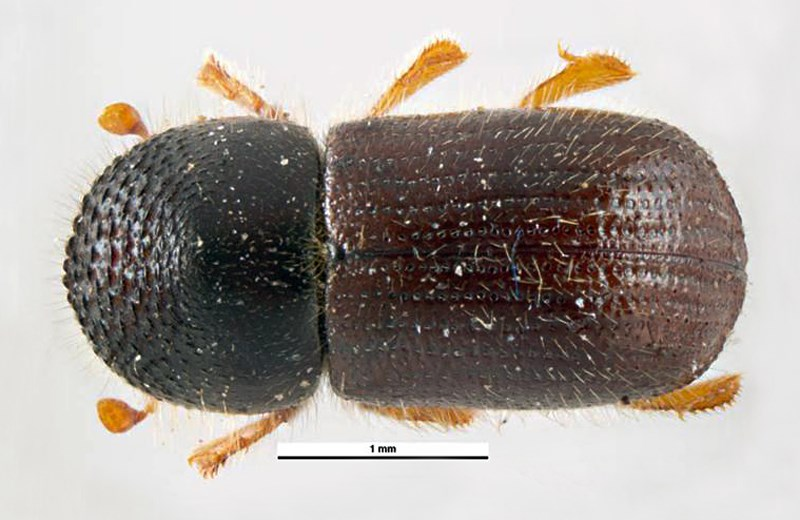 Xyleborus dispar (pear blight beetle); adult female, dorsal view. Museum set specimen. Collected by M. Knizek. Štěchovice, Central Bohemian region of the Czech Republic. July 1989.