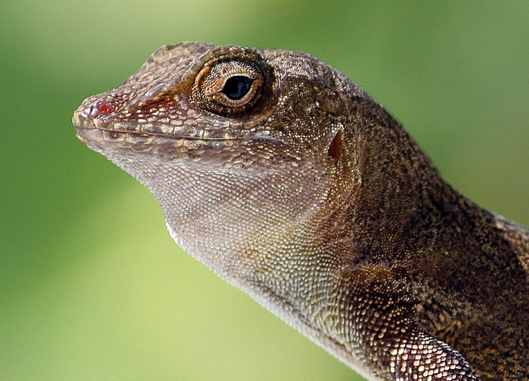 Anolis cristatellus (Puerto Rican crested anole); adult, showing close view of head. Picard, Dominica. February 2012.