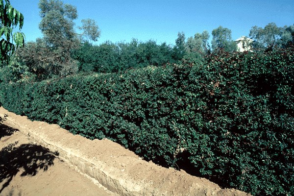 P. dulce is cultivated for hedging, Rajasthan, India.
