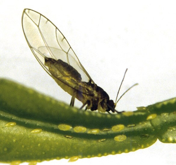 Trioza erytreae (African citrus psyllid); adult on leaf.