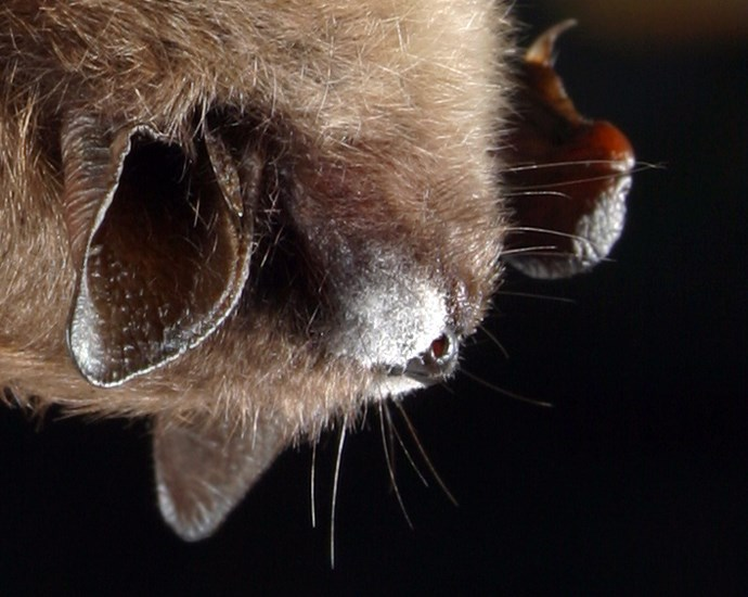 Pseudogymnoascus destructans (white-nose syndrome fungus); close-up of hibernating little brown bat (Myotis lucifugus) with white fungal growth, typical of white-nose syndrome, on muzzle.