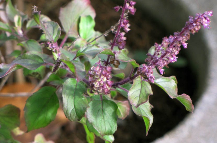Ocimum tenuiflorum (holy basil); flowers and seeds. Garden of Eden Keanae, Maui, Hawaii, USA. March 2011.