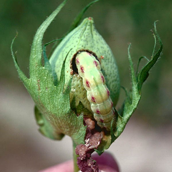 Helicoverpa zea (American cotton bollworm); late instar larva on cotton boll (Gossypium hirsutum). USA.