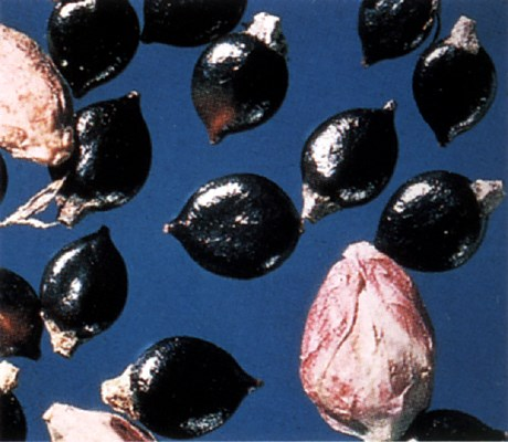 Mature black seeds of P. persicaria.