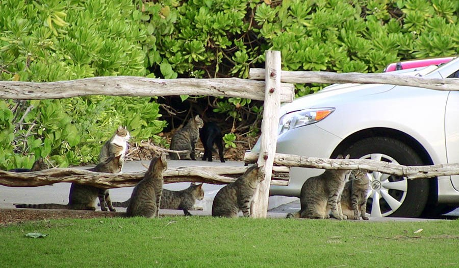 Felis catus (cat); a pride of feral cats. Many of these cats have been spayed or neutered; one of their ears is then clipped to indicate that they are sterile. This action will fix the breeding problem, but does not address the predation issue.  Holoholokai Beach Park in Mauna Lani, Puako, Hawaii, USA. Ocotber 2010.
