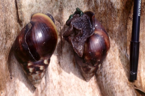 Achatina fulica in Martinique.
