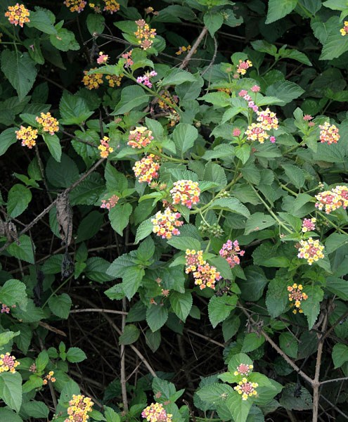 Lantana camara (lantana); habit, showing flowers and foliage, as well as the thorny stems.