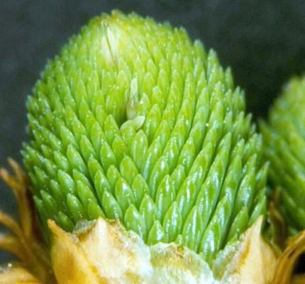 Swollen bud with needles discoloured by oviposition.