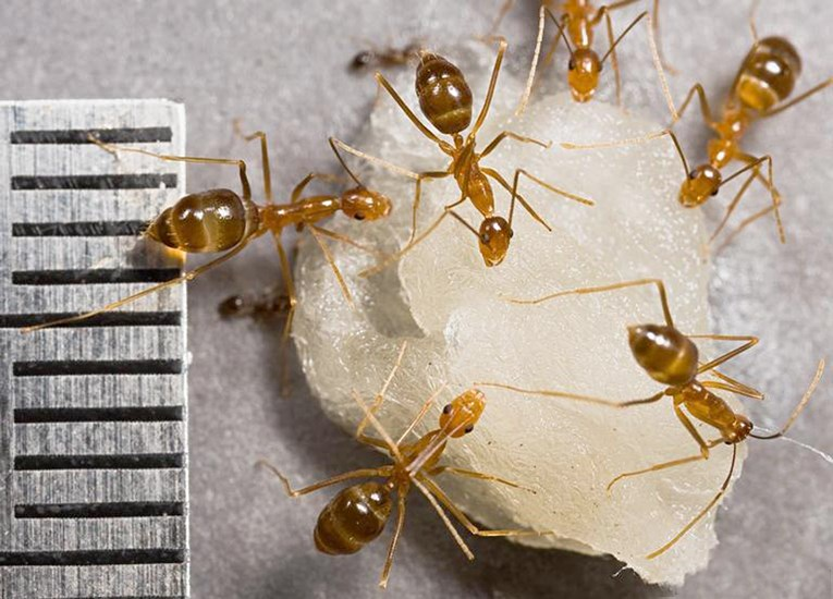 Anoplolepis gracilipes (yellow crazy ant); adults at sugar bait. Note mm scale.