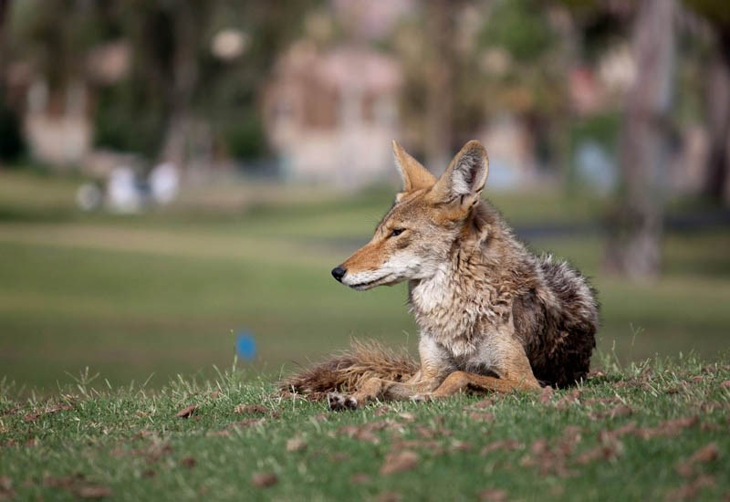Canis latrans (coyote); adult, loafing in Resort Corridor, Scottsdale, Arizona, USA. June 2011.