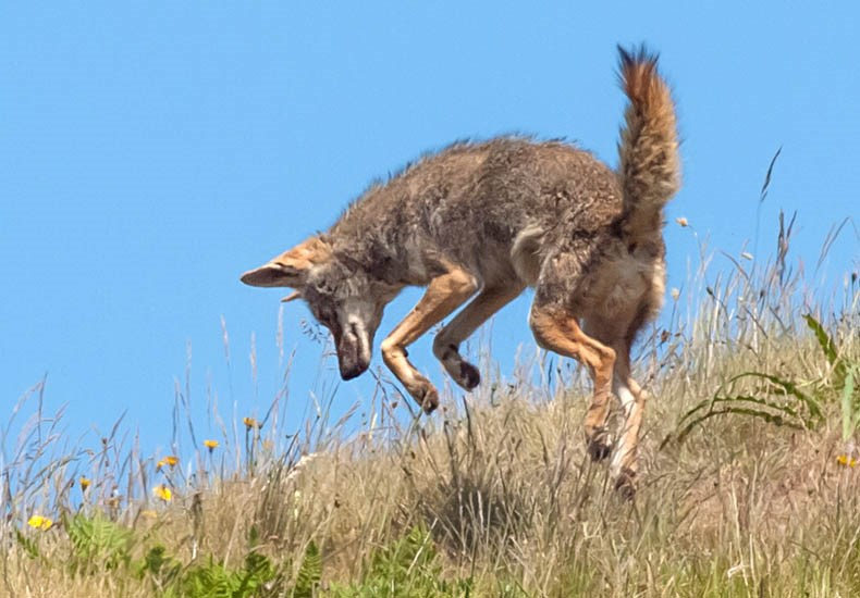 Canis latrans (coyote); adult showing typical 'pouncing' behaviour, used when hunting for small mammals, etc. Golden Gate National Recreation Area, Sausalito, California, USA. May 2012.