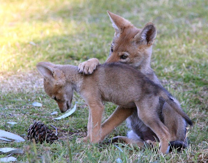 Canis latrans (coyote); pups. Mesa, Arizona, USA. May 2010