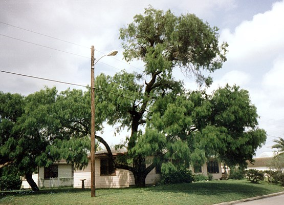 P. glandulosa as an amenity tree in Texas, USA.
