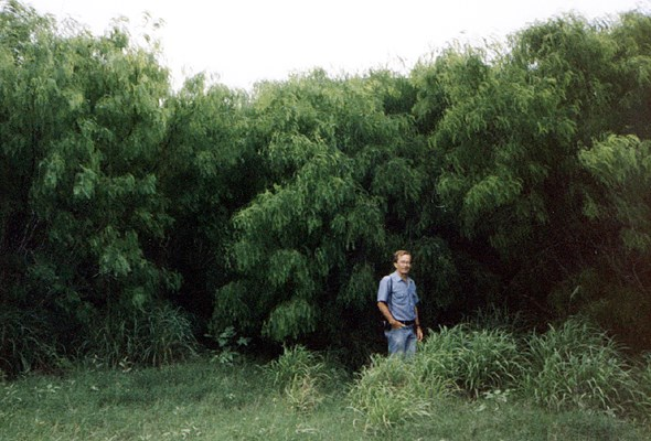 Typical shrubby form of invading P. glandulosa alongside a cultivated field in Texas, USA.
