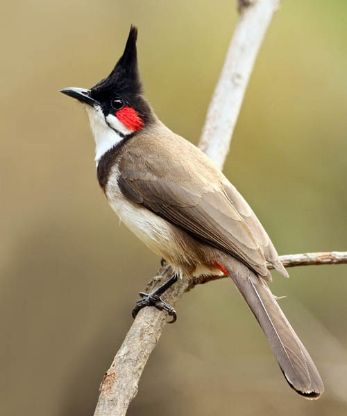 Pycnonotus jocosus (red whiskered bulbul); adult male, perched.