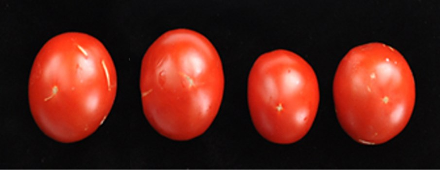 Tomato apical stunt viroid; fruit from healthy Rutgers tomatoes.