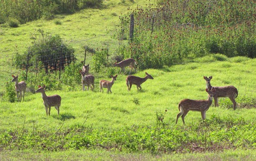 Axis axis (Indian spotted deer); deer herd, with two young bucks in velvet to the right. Hanamu Rd., Makawao, Maui, Hawaii, USA. April 2012.