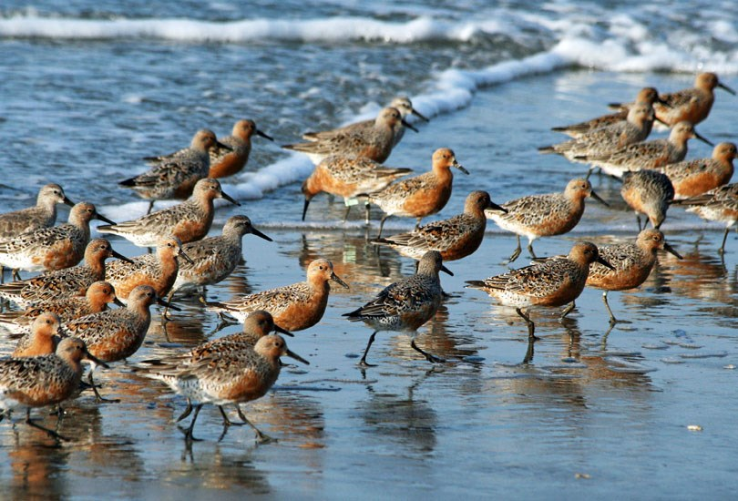 Calidris canutus (red knot); adults, in breeding plumage. USA. May 2008.