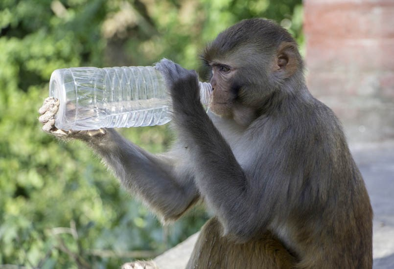 Macaca mulatta (Rhesus macaque); adult male, drinking from a plastic water bottle. Nepal. November 2016.