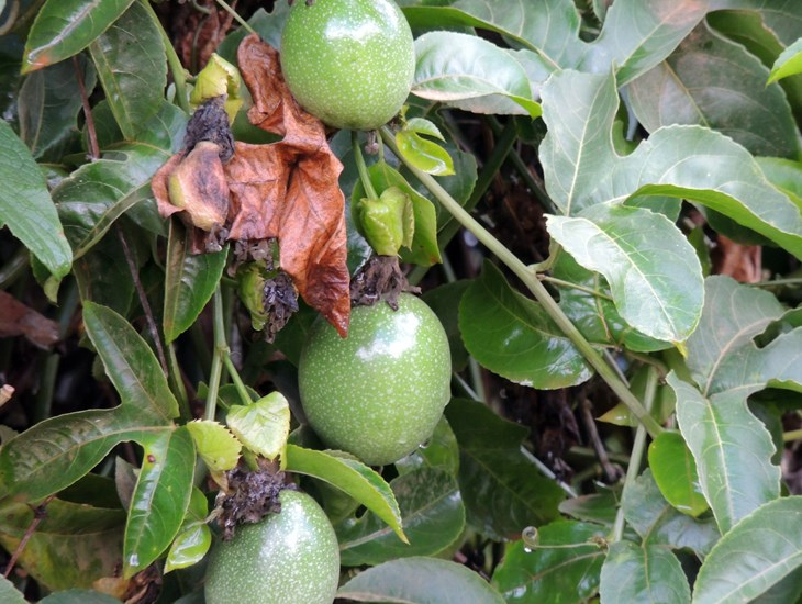 Passiflora edulis (passionfruit); fruits and foliage.