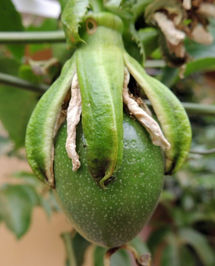 Passiflora edulis (passionfruit); developing fruit. July, 2014.