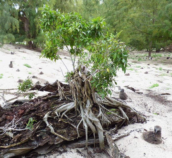 Ficus microcarpa (Indian laurel tree); habit. Small tree on an ironwood stump. Sand Island, Midway Atoll, Hawaii, USA. March 2015.