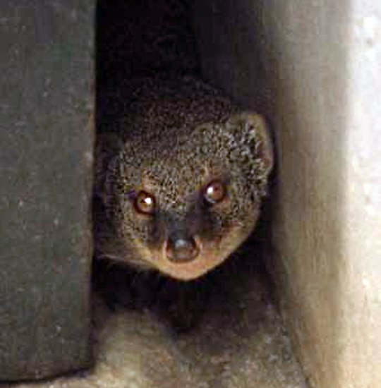 Herpestes auropunctatus (small Indian mongoose); adult. A small, slim-bodied, mammalian predator, native to areas from Iran, through India to Myanmar (Burma) and the Malay Peninsula.