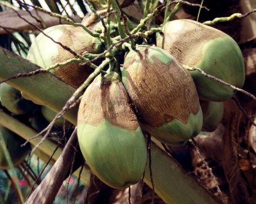 Green nuts damaged by A. guerreronis