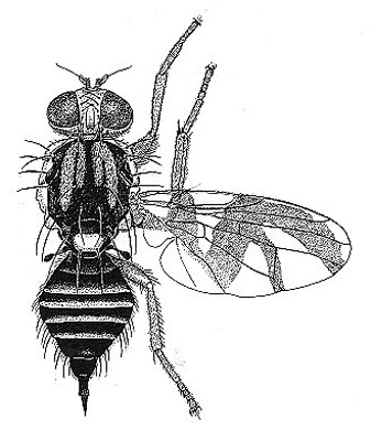 Line drawing of adult R. mendax
