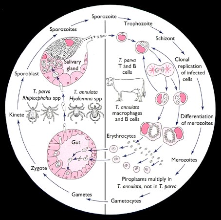 The life cycle of a typical Theileria species, as illustrated by those of T. annulata and T. parva, comprises a cycle of clonal replication of schizonts in mononuclear cells in lymphoid and reticuloendothelial tissues followed by the appearance of 'piroplasms' - small (<3u) and plemorphic organisms - in erythrocytes.  T.parva  proliferates as schizonts; its piroplasms do not multiply.  Schizonts are the major proliferating stage of T. annulata..  In infections of T. annulata, at least, elevated parasitaemias arise when erythrocytes are invaded by massive numbers of merozoites produced by large populations of schizonts. Members of the  T. orientalis/T. buffeli  group proliferates mainly as piroplasms. In every species, piroplasms include parasites undergoing gametogony and producing the gametocytes which are infective for ticks. Differentiation into gametes and sexual recombination occurs in the tick gut. Kinetes developing from zygotes in the gut cells appear to migrate directly to the