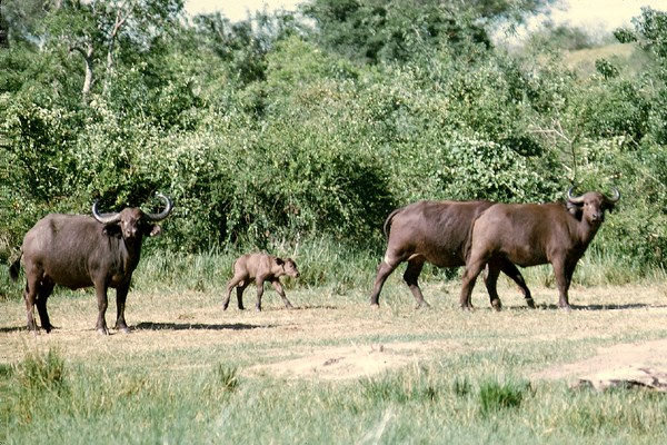 Asian buffalo (Bulbalis bulbalis).