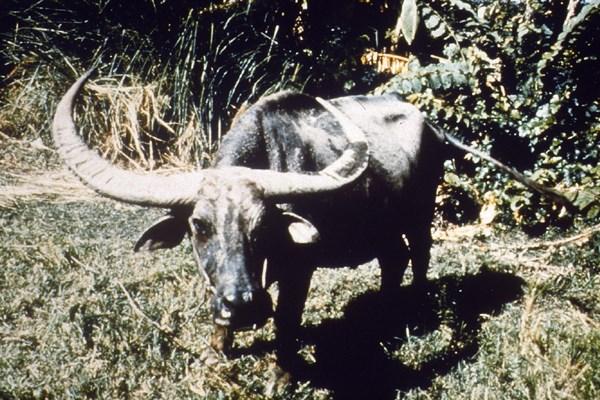 African buffalo (Syncerus caffer).