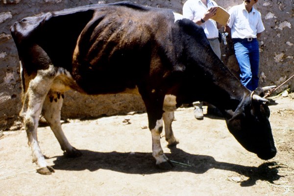 Taurine cow infected with T. annulata showing debilitated condition.
