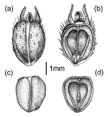 D. teres: fruits and seed; Coccus (a & b) dorsal and ventral sides; Seed (c & d) dorsal and ventral sides.