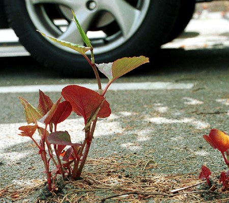 Japanese knotweed pushing through road surface in car park. UK.