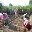 Developing skills for kitchen gardeners in the Punjab