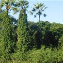 Managing invasive rubbervine in Brazil
