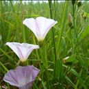 Revisiting biological control of field bindweed