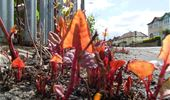 Project image: Controlling Japanese knotweed in Great Britain