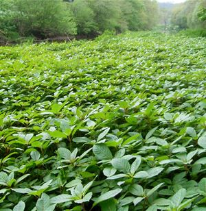 Biological control of Himalayan balsam