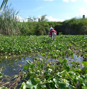 Controlling floating pennywort in a safe and sustainable way
