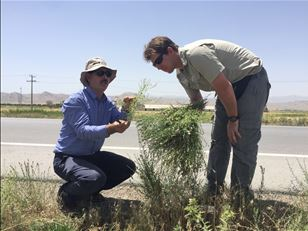 Controlling the noxious Russian knapweed in North America